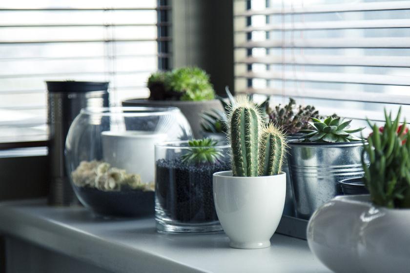kaktusz amely pikkelysömör gyógyítja)