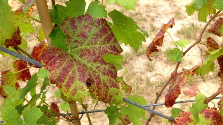 A szőlő nyári védelme - Mezőhír