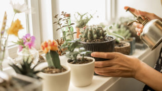 kaktusz gyógyszer pikkelysömörre