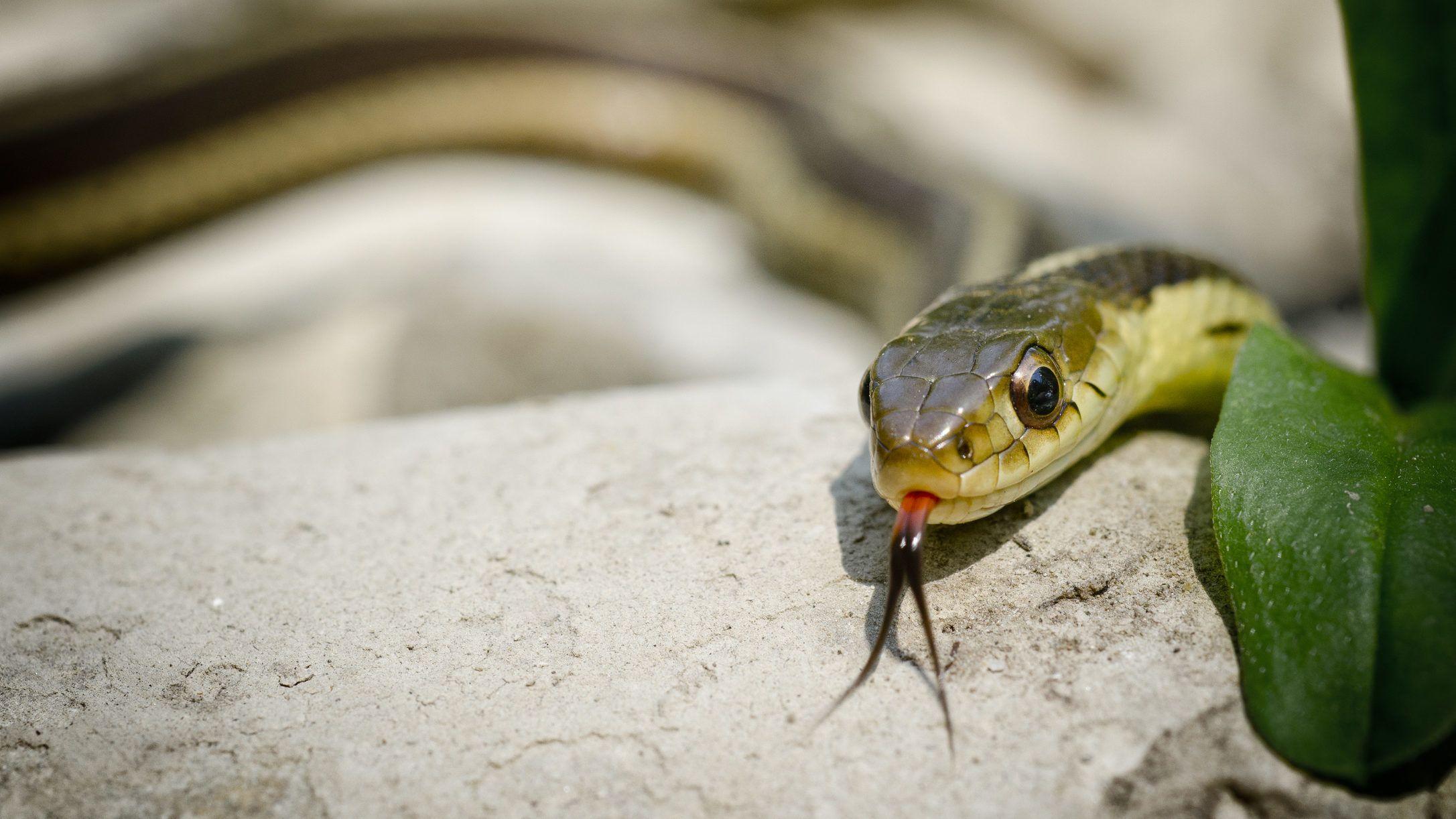 kígyók pikkelysömör kezelése)